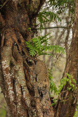 Leopard Descending A Tree Nagarhole National Park Karnataka India