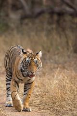 Tiger Swag Ranthambore Tiger Reserve Rajasthan