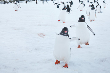 cute funny gentoo penguins running on snow to the camera, curious birds in Antarctica, enthusiasm concept