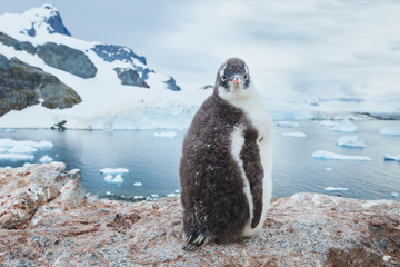 gentoo penguin chic in Antarctica, curious funny animal baby bird portrait looking at camera, antarctic nature wildlife