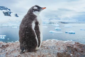 Fototapeta premium gentoo penguin in Antarctica, antarctic nature wildlife landscape