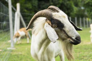 goat grazing in a meadow. animal goat farm