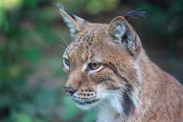 Head portrait of wild Eurasian lynx (Lynx lynx)