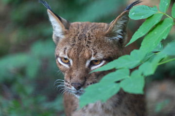 Close up portrait of wild Eurasian lynx (Lynx lynx) hiding behind leaves in forest
