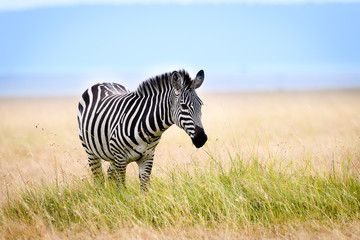 African zebra in long grass, Masai Mara, Kenya