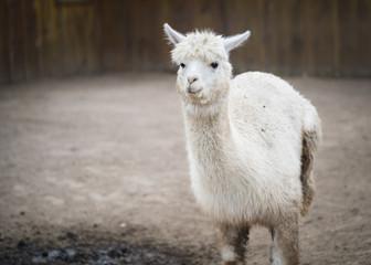 The Funny Alpaca