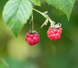 Ripened raspberry in the garden
