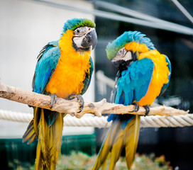 Couple of blue-and-yellow macaws