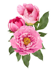 pink and white peony flowers bouquet isolated