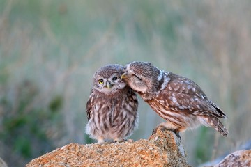 The little owl (Athene noctua) with his chick standing on a stone