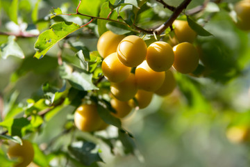 A group of yellow mirabelle plums on a twig of a plum tree