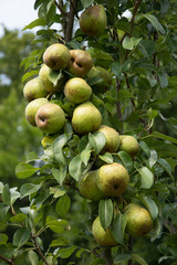 Cluster of ripe light green pears on pear tree in an orchard