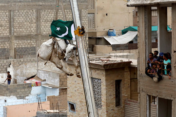 Residents look at a sacrificial cow, as it is descended from a rooftop with the help of a crane, ahead of Eid al-Adha festival in Karachi