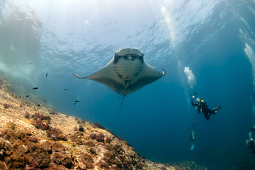 Fototapete - SCUBA divers photographing a huge Oceanic Manta Ray as it swims next to a tropical coral reef