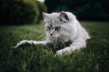 British Longhair cat outside