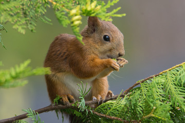 Sciurus vulgaris (Red Squirrel)