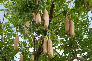 Kigelia africana, sausage tree with ripening fruits