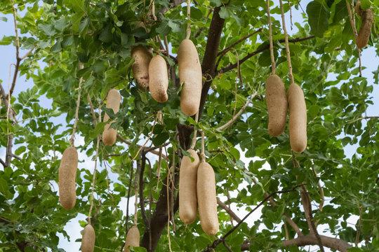 Kigelia africana, sausage tree with ripening fruits