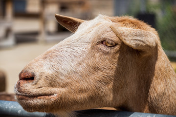 Close-up photograph of a goat at a children's petting zoo.
