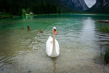 Schwan und Ente auf dem Toblacher See-3