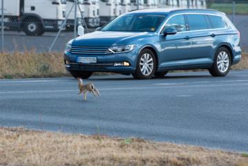 Kaninchen auf der Flucht rennt vor ein Auto