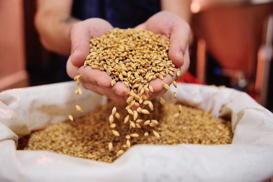 Male hands of the brewer holding beer malt on the background of the brewery.