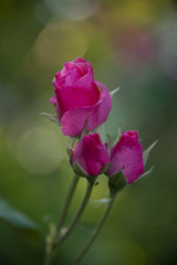FLOWERS - three rose