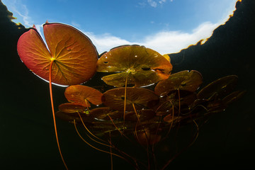 Wall Mural - Colorful Lily Pads in Pond