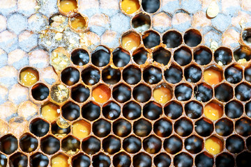 Closeup macro of yellow bee honeycomb in a hexagon pattern with sealed golden sweet honey compartments of the hive interior found wild in nature