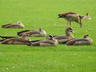Sleeping geese