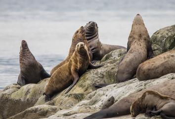 Steller Sea Lions, Glacier Bay