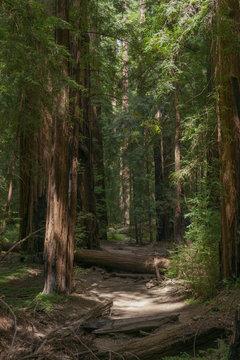 Mendocino Redwood Forest Floor
