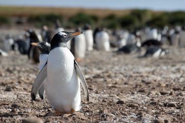A single gentoo penguin (Pygoscelis papua) in a colony - Falkland Islands