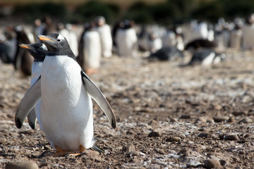 A single gentoo penguin (Pygoscelis papua) in a colony - Falkland Islands