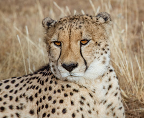 Adult cheetah lies down in dry grass