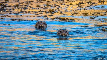 Seals and Seal pups of Southern California
