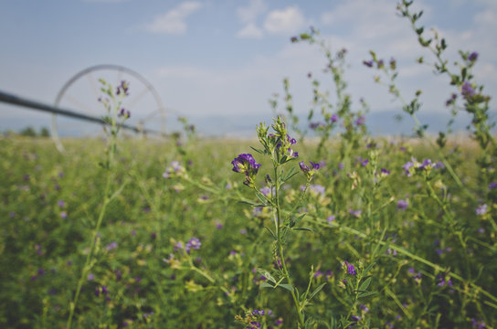 The small alfalfa flower on the green field under the smoky sky.