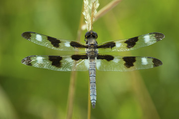 Iowa Whitetail Dragonfly details of back and wings