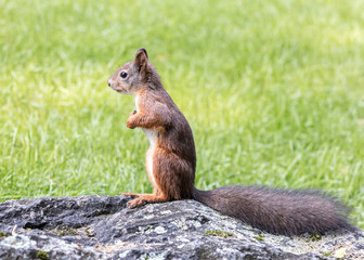 red squirrel with bushy tail standing on grey stone in green grass closeup view