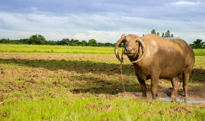Thai water buffalo sending eye contact or looking to the camera on the beautiful green field,vintage style.