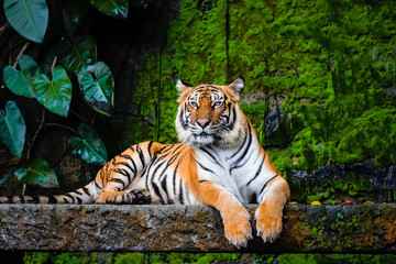 Zelfklevend Fotobehang Tijger beautiful bengal tiger with lush green habitat background