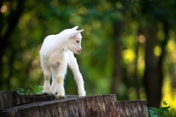 Goat on tree stump