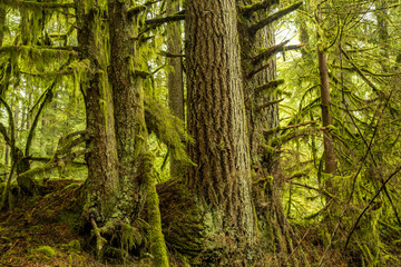 big trees covered in green mosses in lush forest