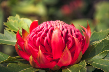 Sunset light on a wild Waratah, a native Australian flower on a blurred background at Mount Tomah Botanic Garden in the Blue Mountains, New South Wales, Australia.