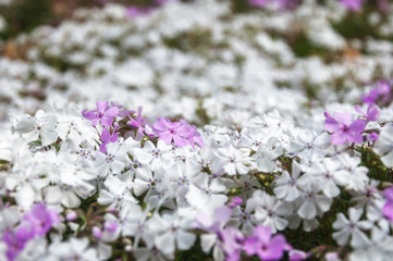 White and Pink Flowers at Botanic Garden in Blue Mountains