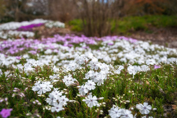 Meadow with white and pink flowers at Botanic Garden in the Blue Mountains