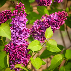 Purple Lilac Flowers -not Australian natives but enjoying the colder climate in the town of Leura in Blue Mountains, Australia.