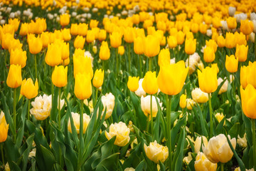 Yellow and white tulips at the Spring Festival in Canberra, Australia.