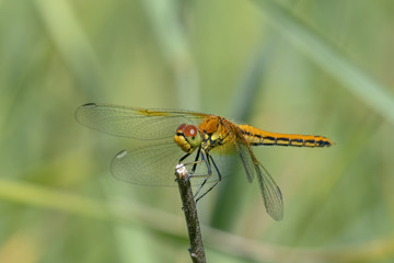 Yellow-winged darter (Sympetrum flaveolum)  sitting on a stick