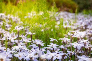 Sun-kissed Meadows with White Star Flowers at the Spring festival in Canberra, Australia.